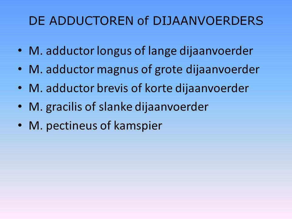 DE ADDUCTOREN of DIJAANVOERDERS • M. adductor longus of lange dijaanvoerder • M. adductor magnus of grote dijaanvoerder • M. adductor brevis of korte