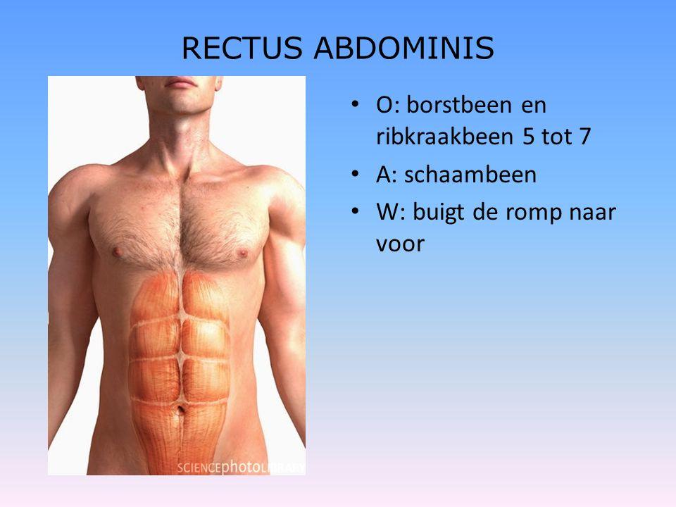 RECTUS ABDOMINIS • O: borstbeen en ribkraakbeen 5 tot 7 • A: schaambeen • W: buigt de romp naar voor