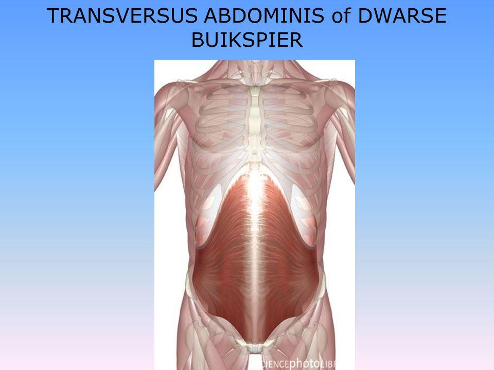TRANSVERSUS ABDOMINIS of DWARSE BUIKSPIER