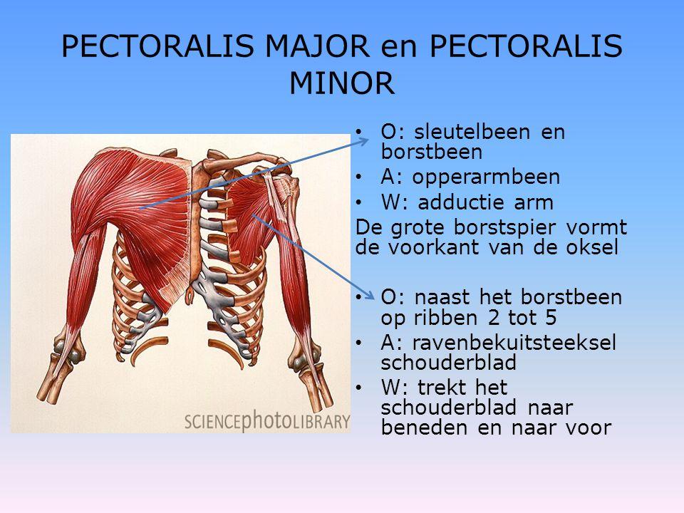 PECTORALIS MAJOR en PECTORALIS MINOR • O: sleutelbeen en borstbeen • A: opperarmbeen • W: adductie arm De grote borstspier vormt de voorkant van de ok