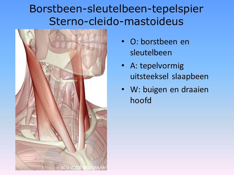 Borstbeen-sleutelbeen-tepelspier Sterno-cleido-mastoideus • O: borstbeen en sleutelbeen • A: tepelvormig uitsteeksel slaapbeen • W: buigen en draaien