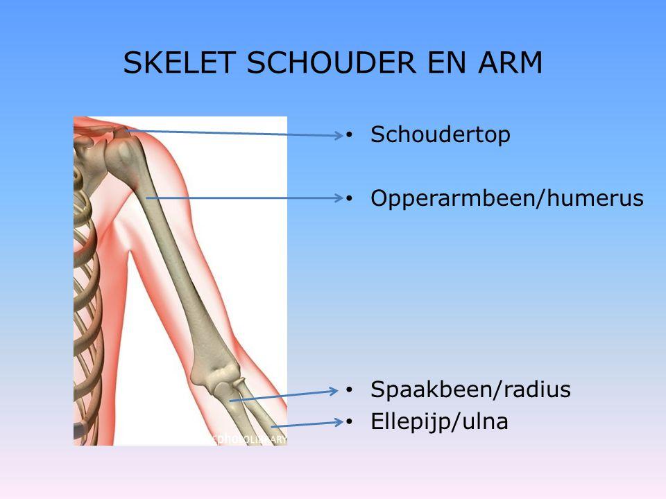 SKELET SCHOUDER EN ARM • Schoudertop • Opperarmbeen/humerus • Spaakbeen/radius • Ellepijp/ulna