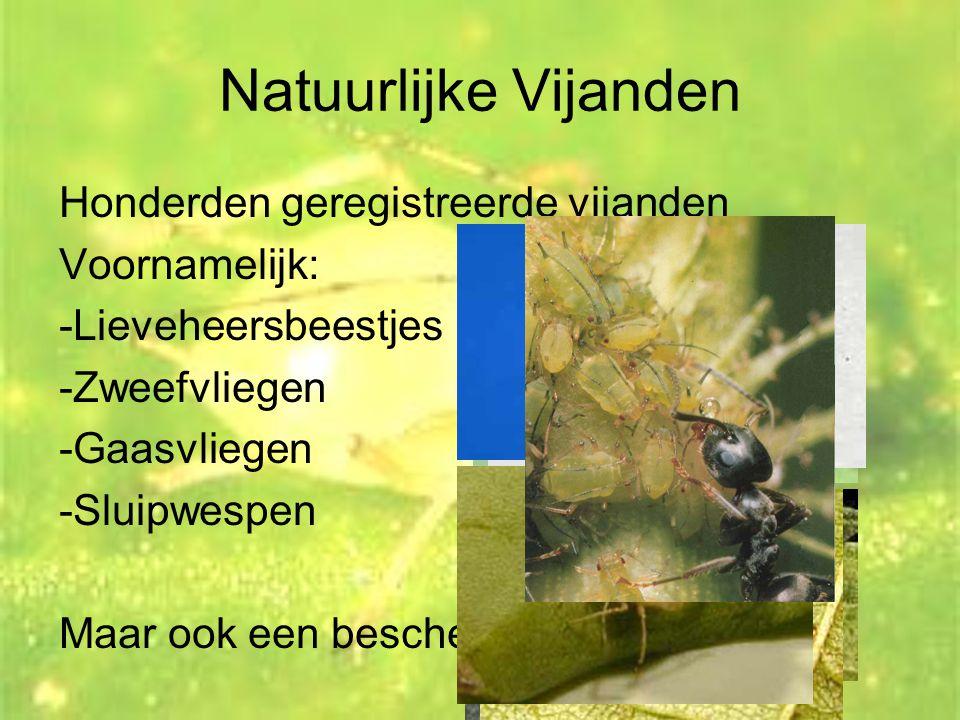 Natuurlijke Vijanden Honderden geregistreerde vijanden Voornamelijk: -Lieveheersbeestjes -Zweefvliegen -Gaasvliegen -Sluipwespen Maar ook een bescherm
