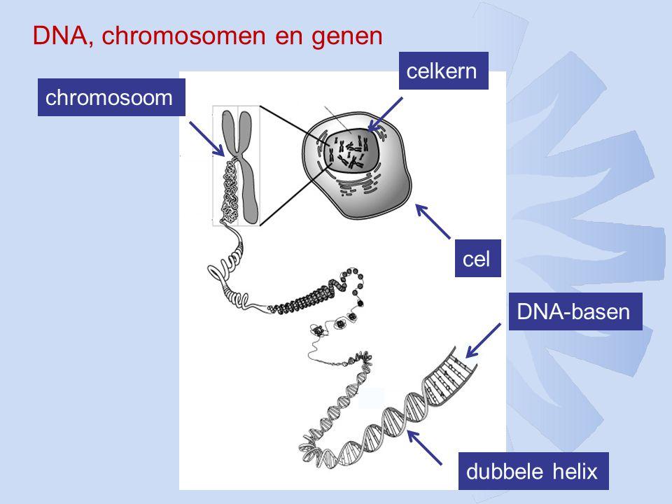 celkern cel chromosoom dubbele helix DNA-basen DNA, chromosomen en genen