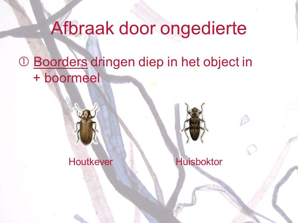 Afbraak door ongedierte  Boorders dringen diep in het object in + boormeel Houtkever Huisboktor