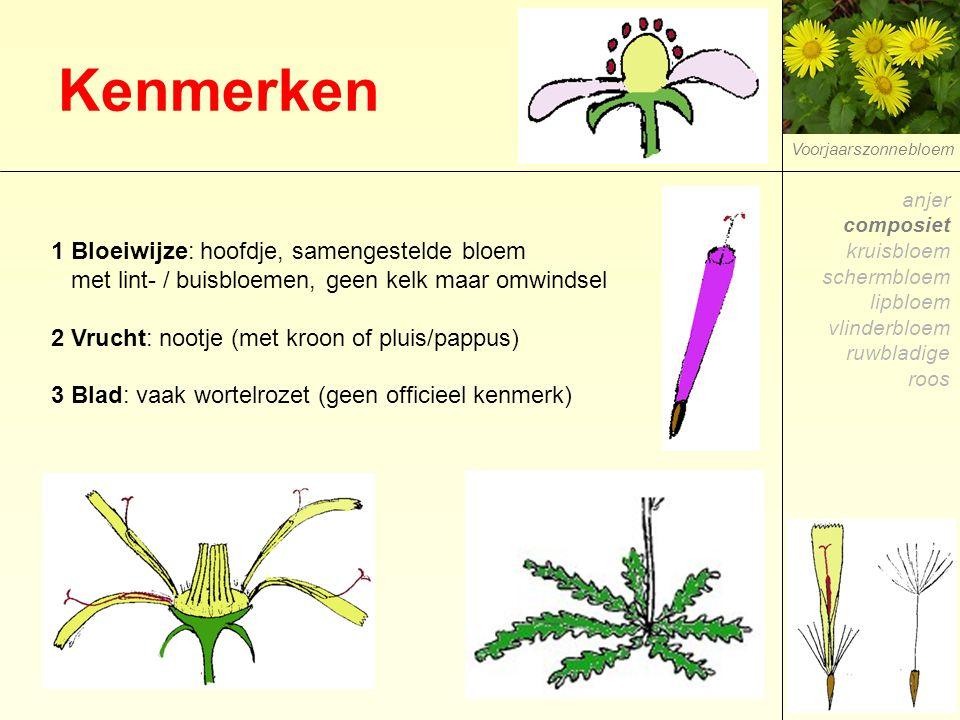 Kenmerken Voorjaarszonnebloem 1 Bloeiwijze: hoofdje, samengestelde bloem met lint- / buisbloemen, geen kelk maar omwindsel 2 Vrucht: nootje (met kroon