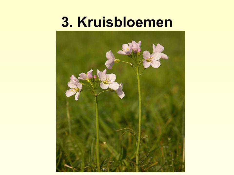 3. Kruisbloemen