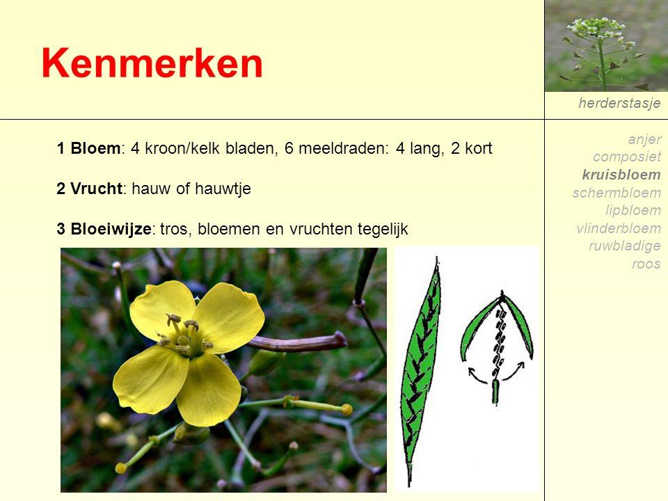 Kenmerken herderstasje 1 Bloem: 4 kroon/kelk bladen, 6 meeldraden: 4 lang, 2 kort 2 Vrucht: hauw of hauwtje 3 Bloeiwijze: tros, bloemen en vruchten te