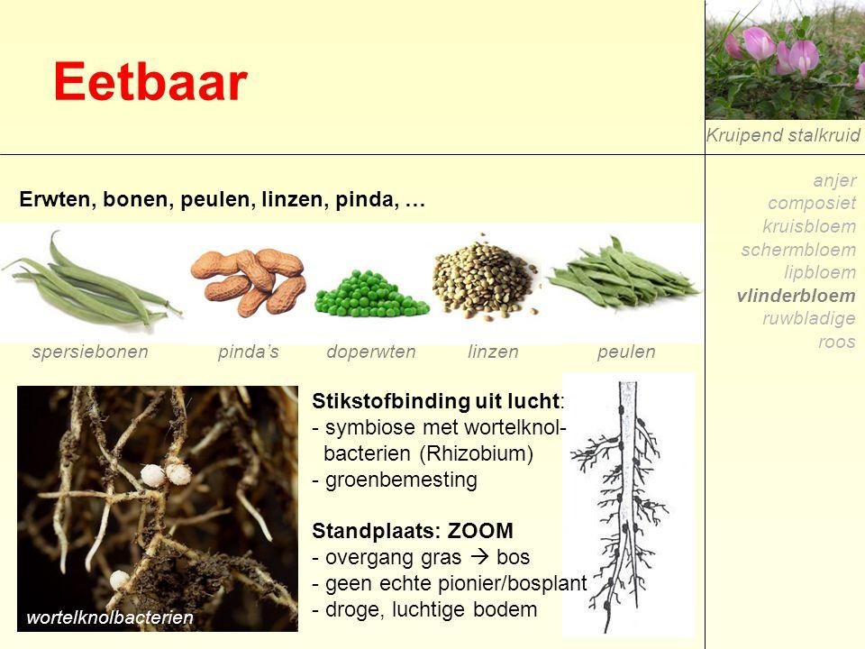 Eetbaar Kruipend stalkruid Stikstofbinding uit lucht: - symbiose met wortelknol- bacterien (Rhizobium) - groenbemesting Standplaats: ZOOM - overgang g