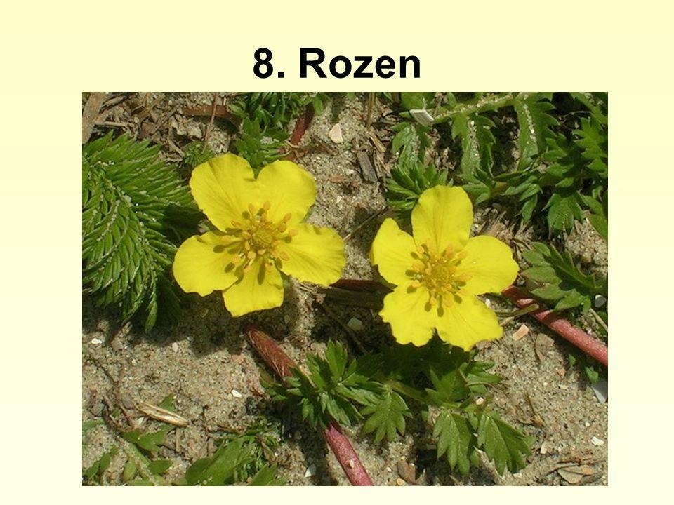 8. Rozen