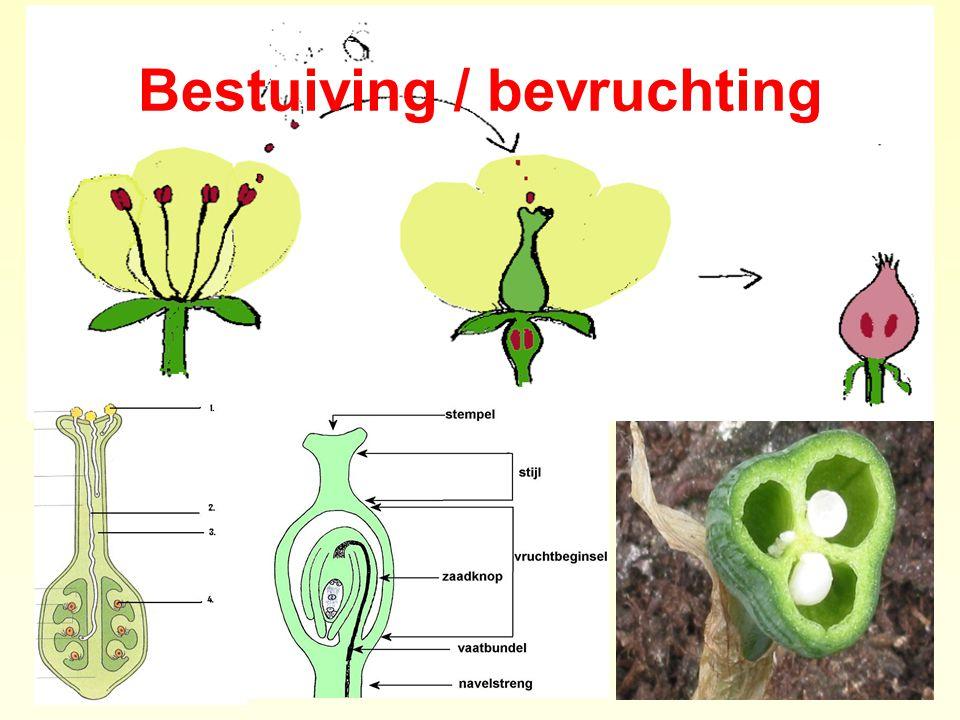 Paarse dovenetel Bevruchting - verspreiding Bestuiving = INSECTEN - Onderlip is landingsplaats met honingmerk - Nectar onderaan buis (> 1 cm) - Haarring beschermt de nectar - Hommels, bijen, inbraak door aardhommel metselbij wolbij anjer composiet kruisbloem schermbloem lipbloem vlinderbloem ruwbladige roos Zaadverspreiding = DIEREN / WIND - Vrucht = 4 nootjes, splitvrucht / dopvrucht - Kelk wordt stekelig  klitverspreiding - Stengel verhout  nootjes weggeslingerd Standplaats = -