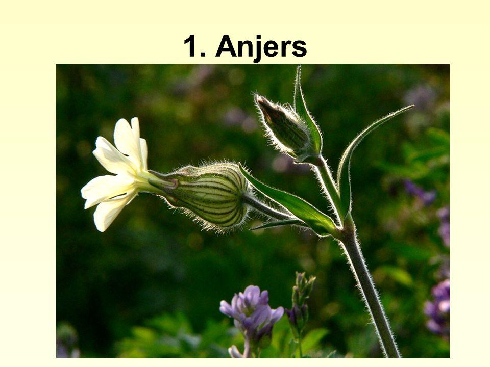 4. Schermbloemen