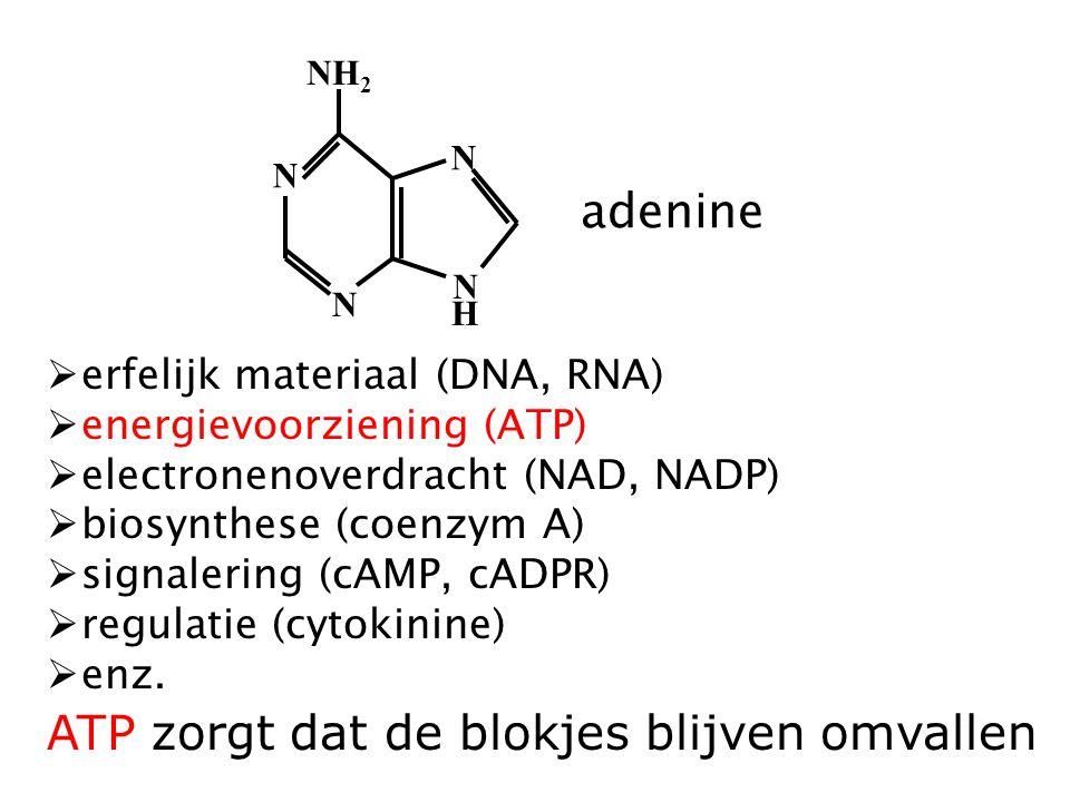 NH 2 N N N N H adenine  erfelijk materiaal (DNA, RNA)  energievoorziening (ATP)  electronenoverdracht (NAD, NADP)  biosynthese (coenzym A)  signalering (cAMP, cADPR)  regulatie (cytokinine)  enz.