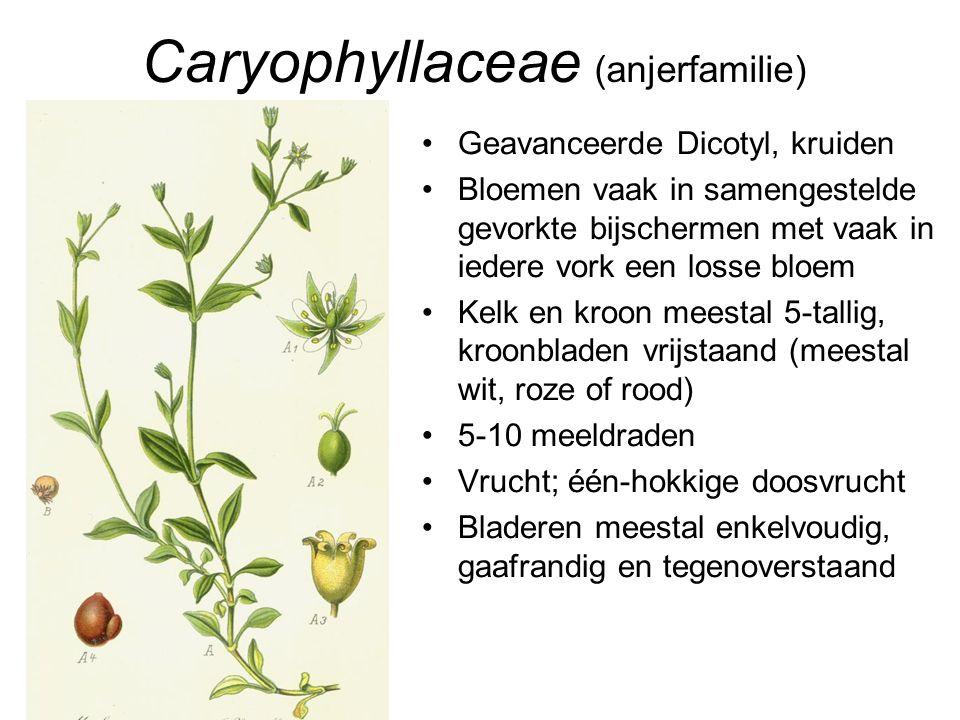 Caryophyllaceae (anjerfamilie) •Geavanceerde Dicotyl, kruiden •Bloemen vaak in samengestelde gevorkte bijschermen met vaak in iedere vork een losse bl