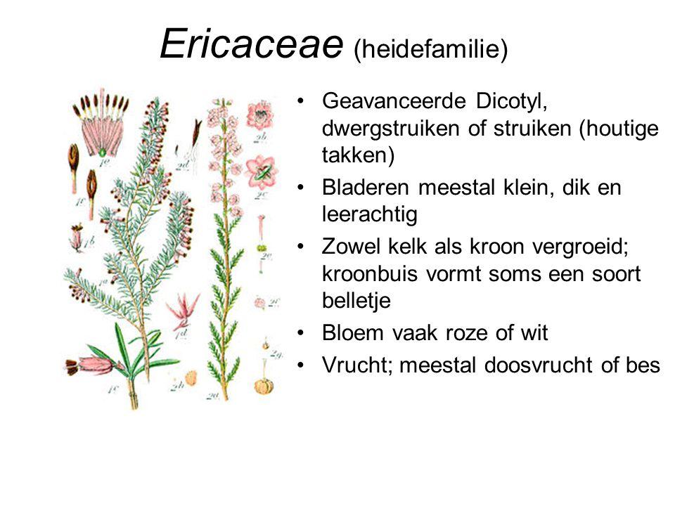 Ericaceae (heidefamilie) •Geavanceerde Dicotyl, dwergstruiken of struiken (houtige takken) •Bladeren meestal klein, dik en leerachtig •Zowel kelk als