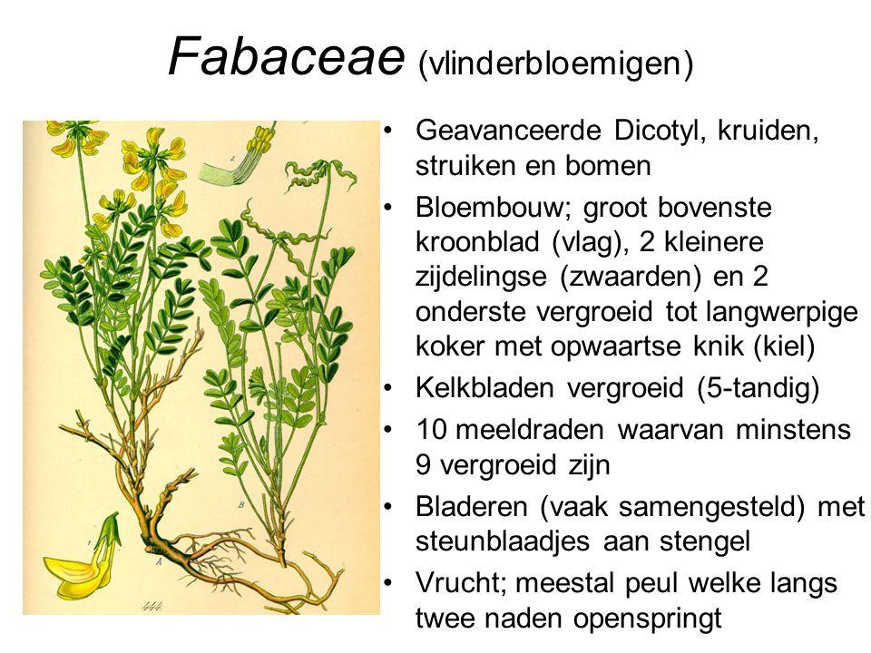 Fabaceae (vlinderbloemigen) •Geavanceerde Dicotyl, kruiden, struiken en bomen •Bloembouw; groot bovenste kroonblad (vlag), 2 kleinere zijdelingse (zwa