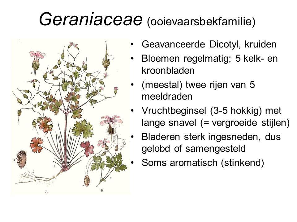 Geraniaceae (ooievaarsbekfamilie) •Geavanceerde Dicotyl, kruiden •Bloemen regelmatig; 5 kelk- en kroonbladen •(meestal) twee rijen van 5 meeldraden •V