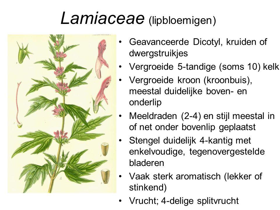 Lamiaceae (lipbloemigen) •Geavanceerde Dicotyl, kruiden of dwergstruikjes •Vergroeide 5-tandige (soms 10) kelk •Vergroeide kroon (kroonbuis), meestal