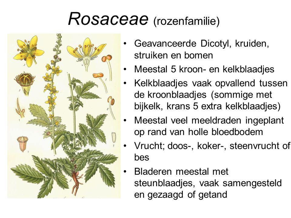 Rosaceae (rozenfamilie) •Geavanceerde Dicotyl, kruiden, struiken en bomen •Meestal 5 kroon- en kelkblaadjes •Kelkblaadjes vaak opvallend tussen de kro