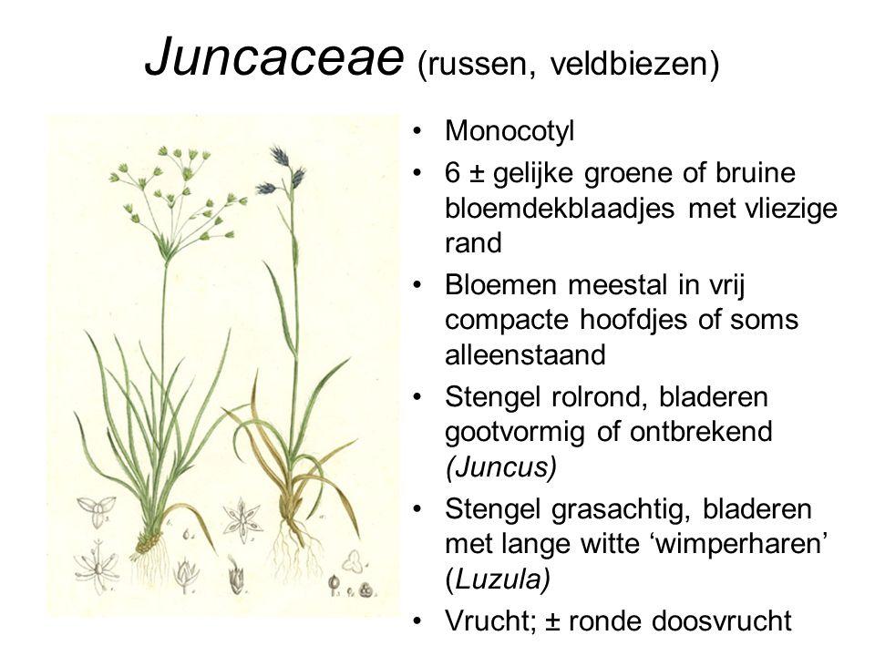 Juncaceae (russen, veldbiezen) •Monocotyl •6 ± gelijke groene of bruine bloemdekblaadjes met vliezige rand •Bloemen meestal in vrij compacte hoofdjes