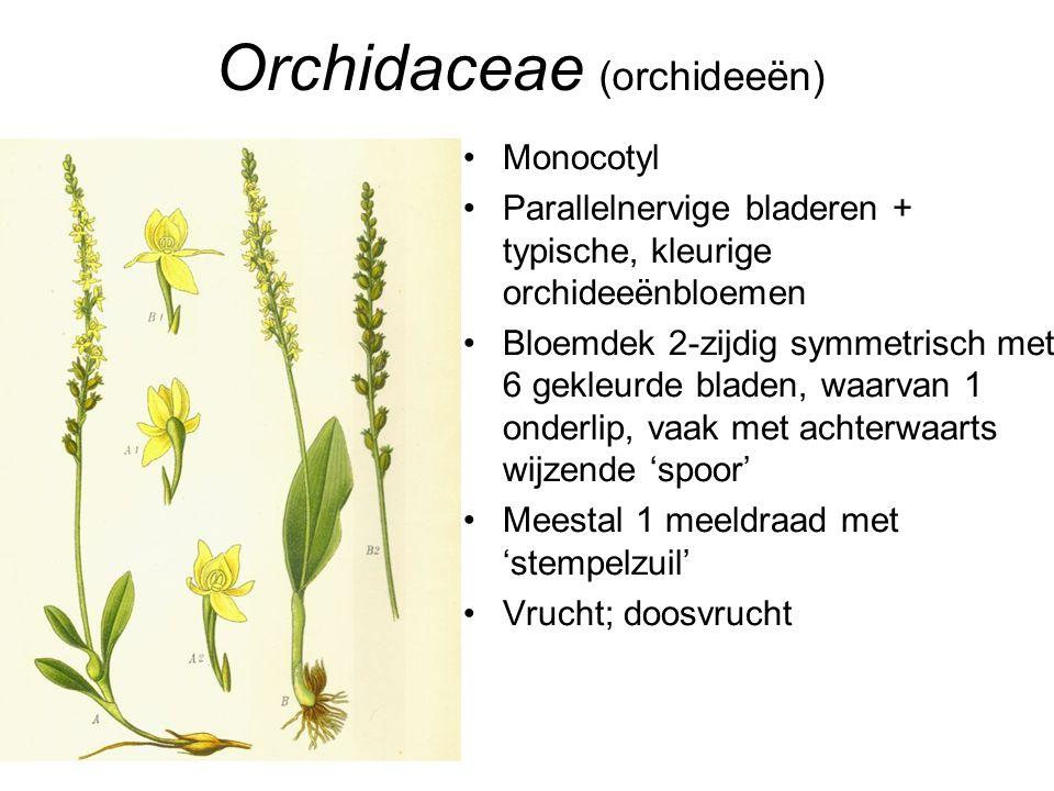 Orchidaceae (orchideeën) •Monocotyl •Parallelnervige bladeren + typische, kleurige orchideeënbloemen •Bloemdek 2-zijdig symmetrisch met 6 gekleurde bl