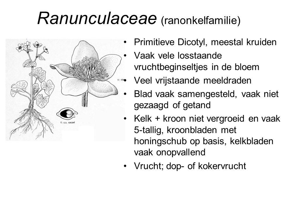 Ranunculaceae (ranonkelfamilie) •Primitieve Dicotyl, meestal kruiden •Vaak vele losstaande vruchtbeginseltjes in de bloem •Veel vrijstaande meeldraden