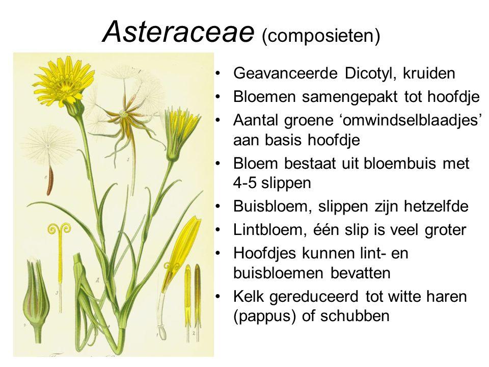 Asteraceae (composieten) •Geavanceerde Dicotyl, kruiden •Bloemen samengepakt tot hoofdje •Aantal groene 'omwindselblaadjes' aan basis hoofdje •Bloem b