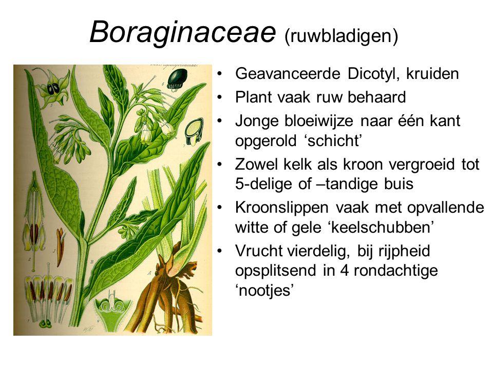Boraginaceae (ruwbladigen) •Geavanceerde Dicotyl, kruiden •Plant vaak ruw behaard •Jonge bloeiwijze naar één kant opgerold 'schicht' •Zowel kelk als k
