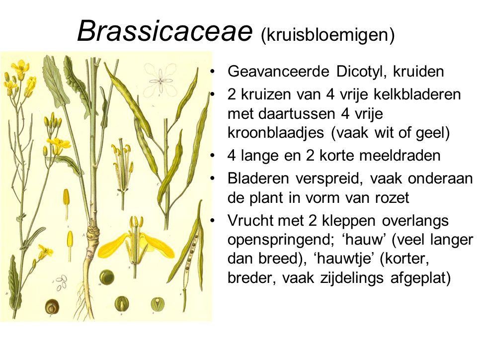 Brassicaceae (kruisbloemigen) •Geavanceerde Dicotyl, kruiden •2 kruizen van 4 vrije kelkbladeren met daartussen 4 vrije kroonblaadjes (vaak wit of gee