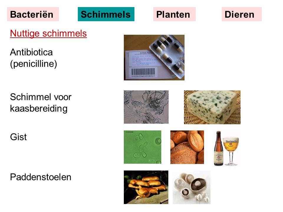 Nuttige schimmels Antibiotica (penicilline) Schimmel voor kaasbereiding Gist Paddenstoelen BacteriënSchimmelsPlantenDieren