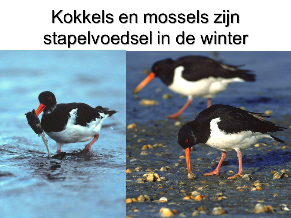 Kokkels en mossels zijn stapelvoedsel in de winter