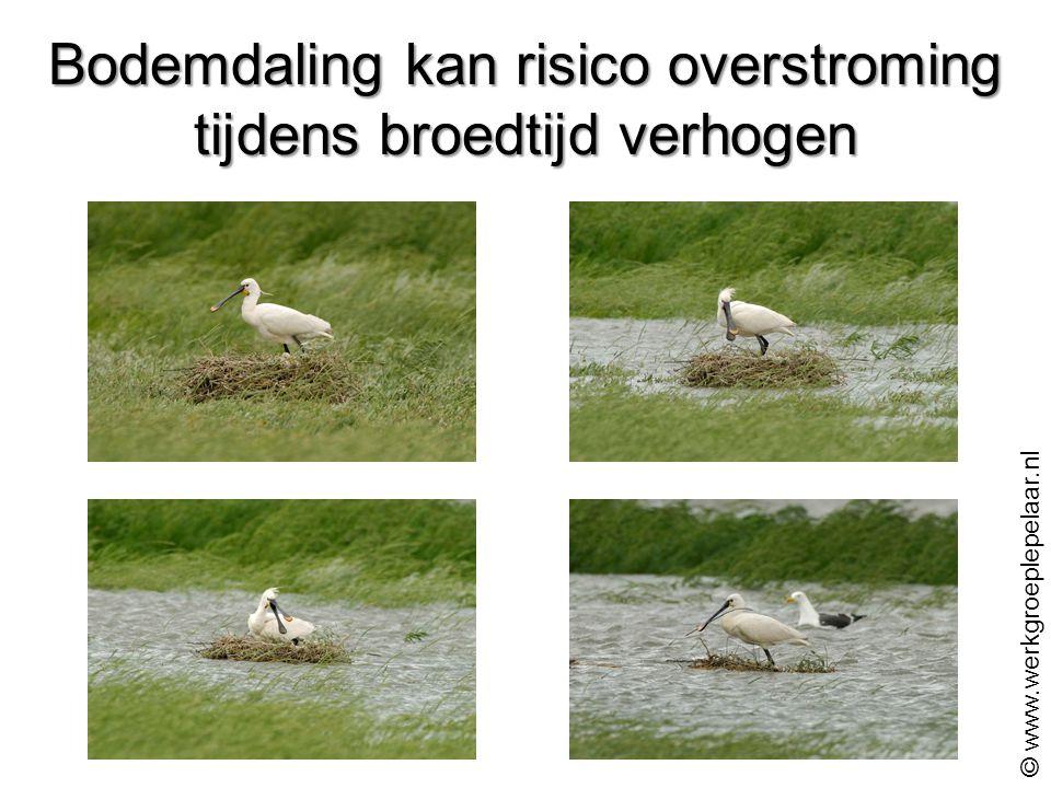 Bodemdaling kan risico overstroming tijdens broedtijd verhogen © www.werkgroeplepelaar.nl