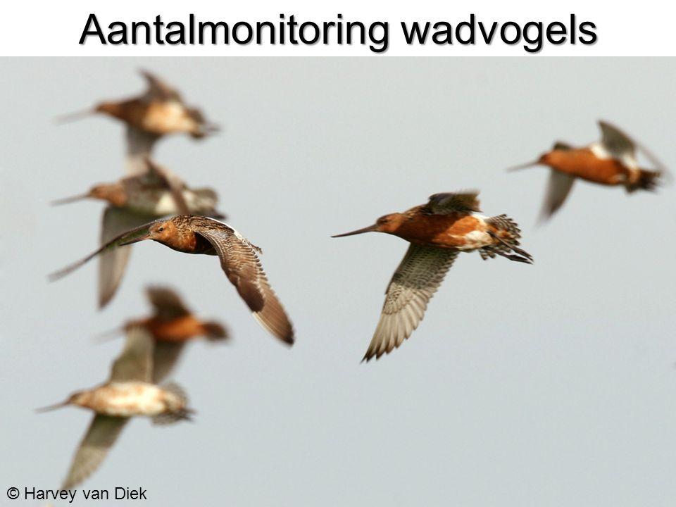 Aantalmonitoring wadvogels © Harvey van Diek