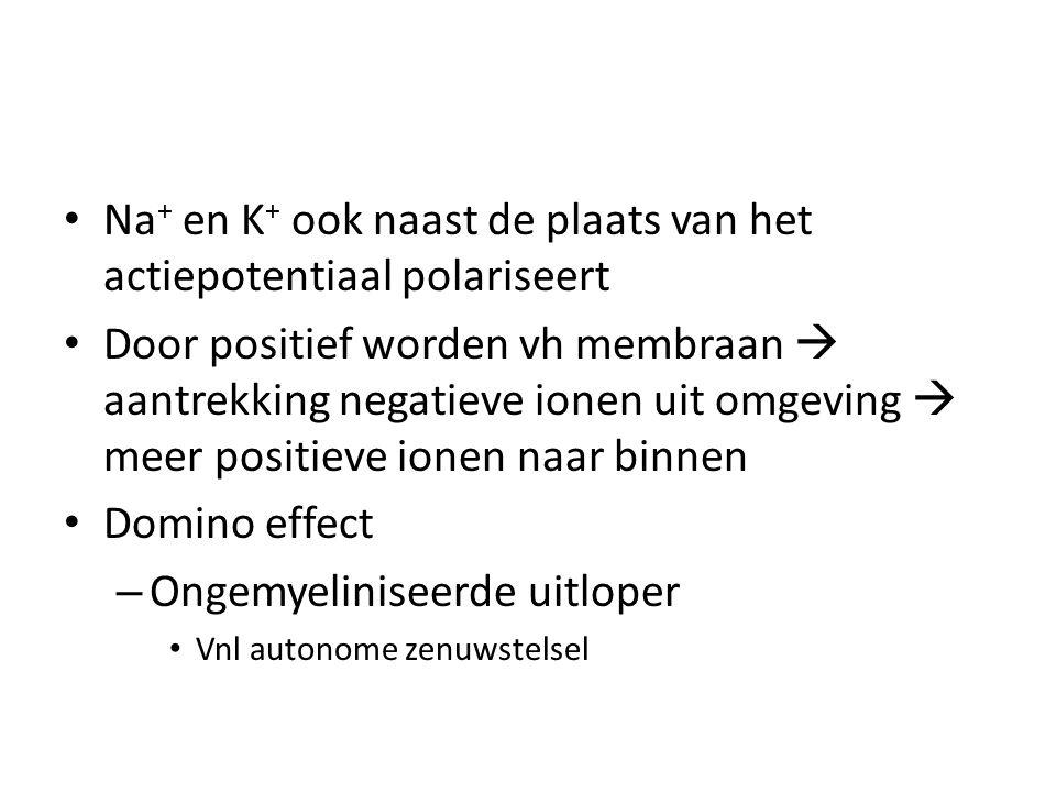 • Na + en K + ook naast de plaats van het actiepotentiaal polariseert • Door positief worden vh membraan  aantrekking negatieve ionen uit omgeving  meer positieve ionen naar binnen • Domino effect – Ongemyeliniseerde uitloper • Vnl autonome zenuwstelsel