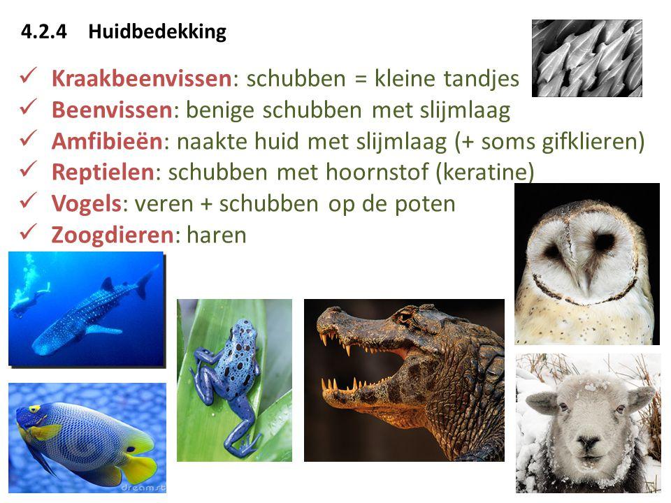 4.2.4Huidbedekking  Kraakbeenvissen: schubben = kleine tandjes  Beenvissen: benige schubben met slijmlaag  Amfibieën: naakte huid met slijmlaag (+