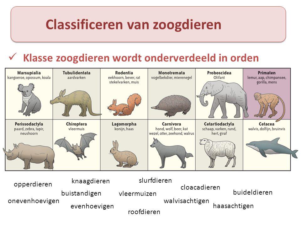 Classificeren van zoogdieren  Klasse zoogdieren wordt onderverdeeld in orden onevenhoevigen evenhoevigen haasachtigen roofdieren vleermuizen buistand