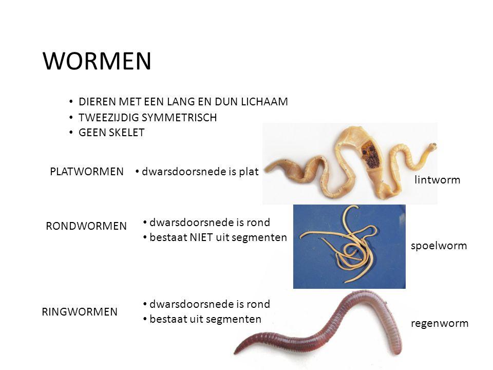 WORMEN • DIEREN MET EEN LANG EN DUN LICHAAM • TWEEZIJDIG SYMMETRISCH • GEEN SKELET PLATWORMEN • dwarsdoorsnede is plat lintworm RONDWORMEN • dwarsdoor
