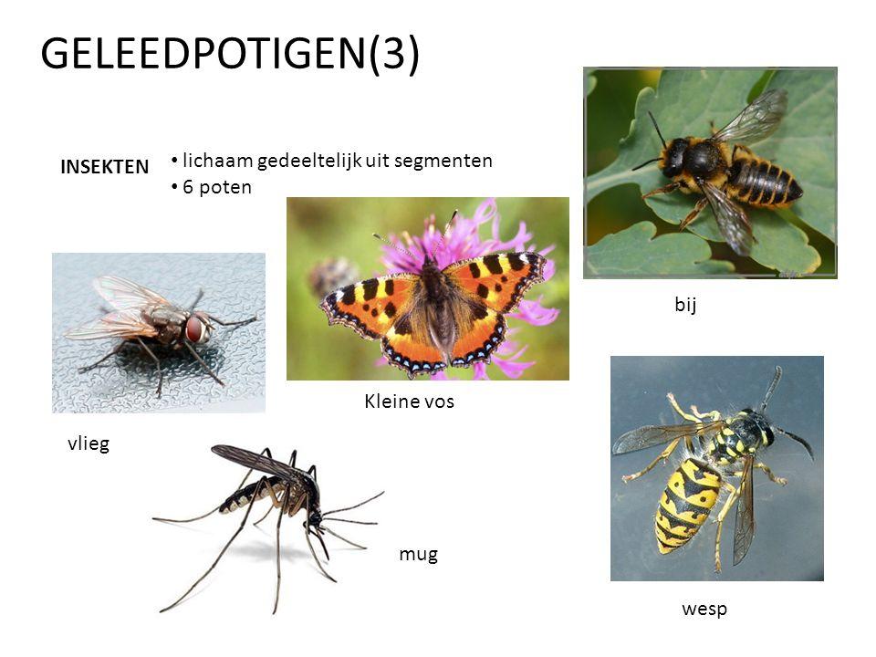 GELEEDPOTIGEN(3) INSEKTEN • lichaam gedeeltelijk uit segmenten • 6 poten vlieg Kleine vos bij wesp mug