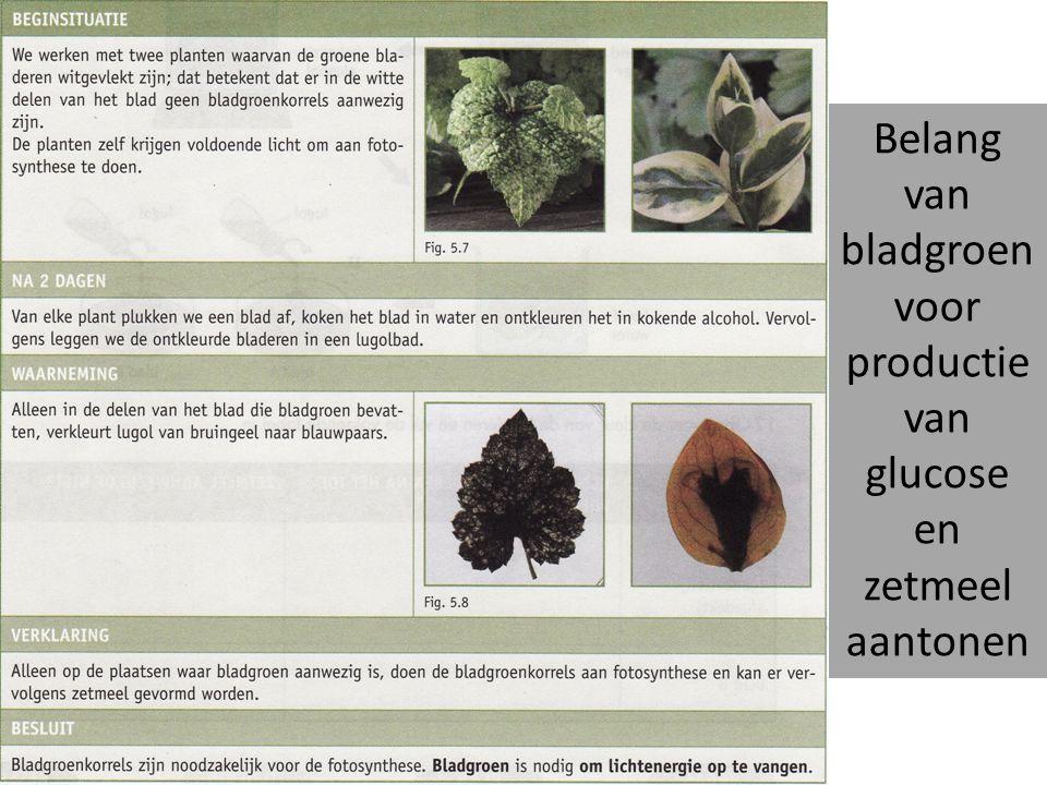 Belang van bladgroen voor productie van glucose en zetmeel aantonen