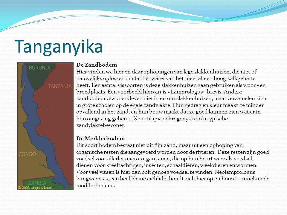 Tanganyika De Zandbodem Hier vinden we hier en daar ophopingen van lege slakkenhuizen, die niet of nauwelijks oplossen omdat het water van het meer al