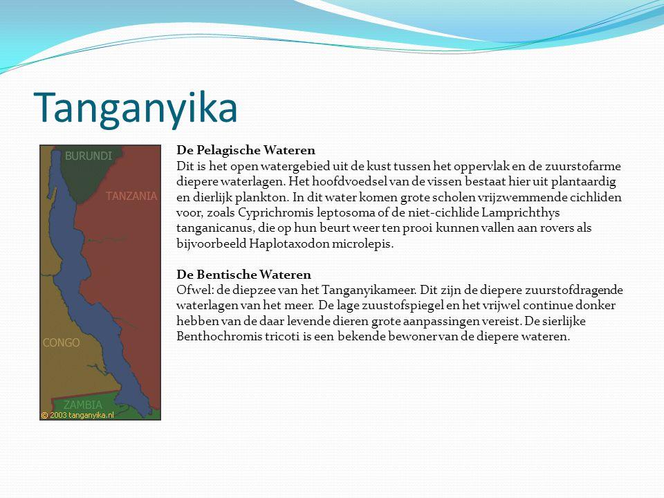 Tanganyika De Pelagische Wateren Dit is het open watergebied uit de kust tussen het oppervlak en de zuurstofarme diepere waterlagen. Het hoofdvoedsel