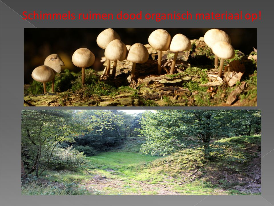 Schimmels ruimen dood organisch materiaal op!