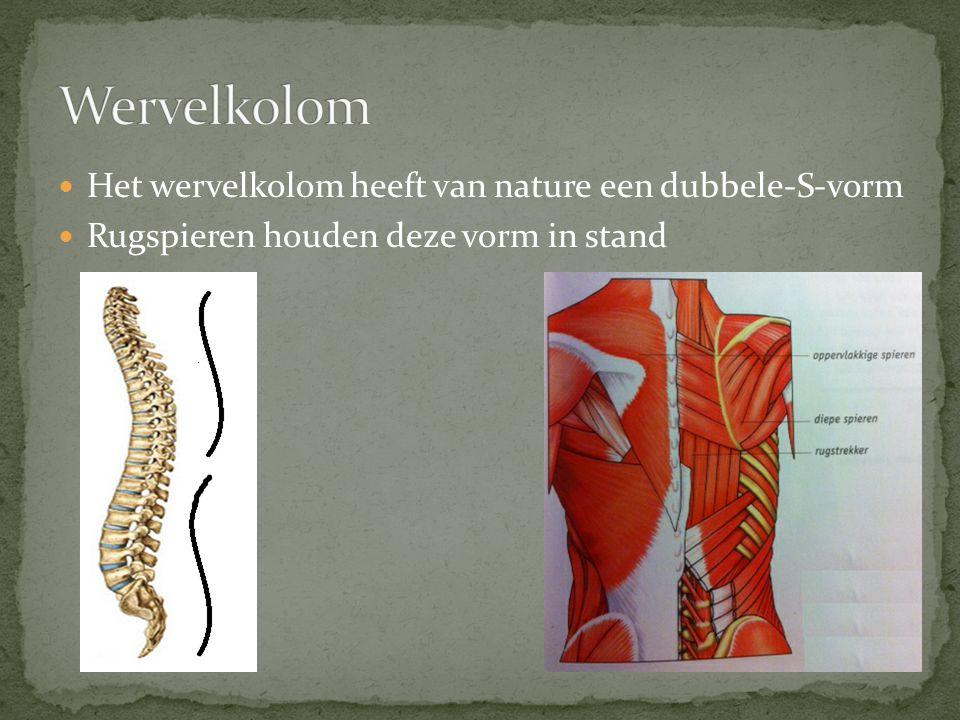  Het wervelkolom heeft van nature een dubbele-S-vorm  Rugspieren houden deze vorm in stand