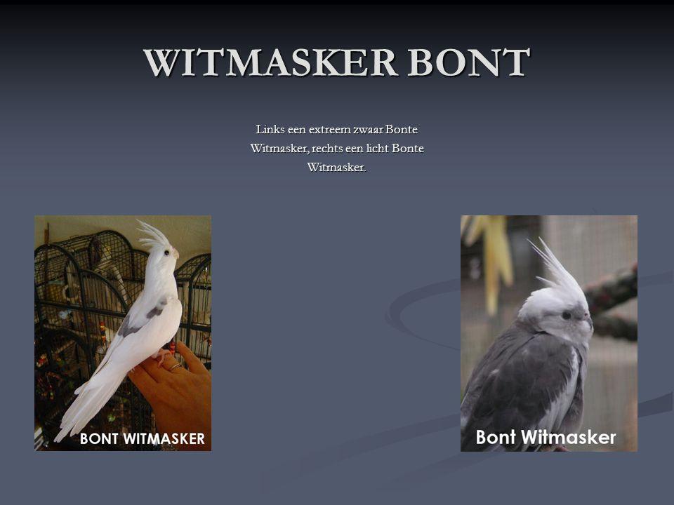 WITMASKER De Witmasker Valkparkiet is hetzelfde als een wildkleur, maar alleen heeft hij geen gele kop en geen rode wangen. De mannen hebben een volle