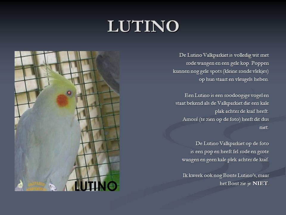 WITMASKER LUTINO (= ALBINO) Deze Valkparkiet is een Lutino maar met een volledig witte kop (Witmasker). Een Witmasker Lutino wordt ook een Albino geno
