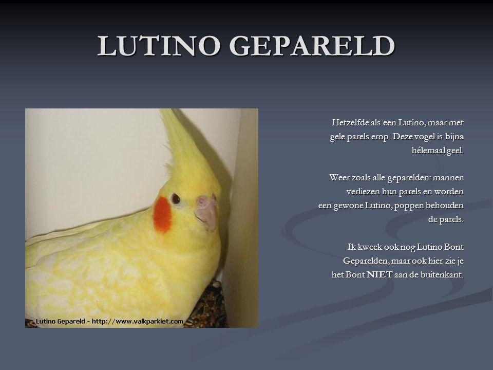 LUTINO De Lutino Valkparkiet is volledig wit met rode wangen en een gele kop. Poppen kunnen nog gele spots (kleine ronde vlekjes) op hun staart en vle