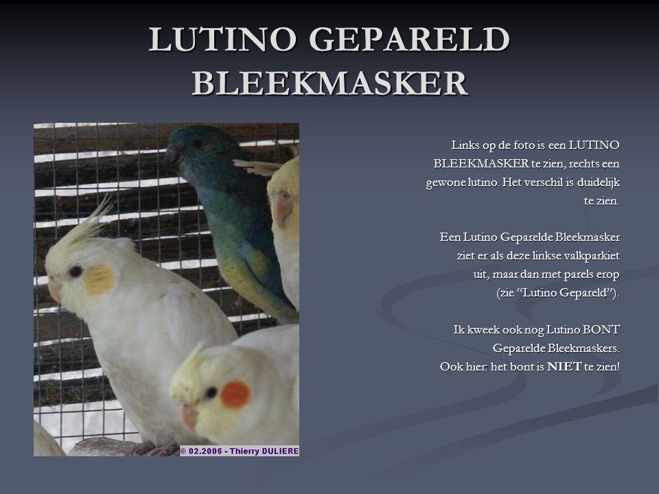 LUTINO BLEEKMASKER De Lutino Bleekmasker is nóg zeldzamer dan de gewone (Wildkleur) Bleekmasker en nog een hoop duurder ook. Ze draaien rond de €270 v