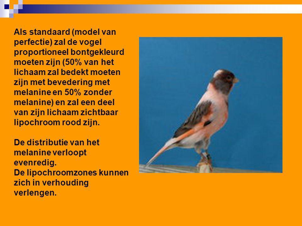 Als standaard (model van perfectie) zal de vogel proportioneel bontgekleurd moeten zijn (50% van het lichaam zal bedekt moeten zijn met bevedering met