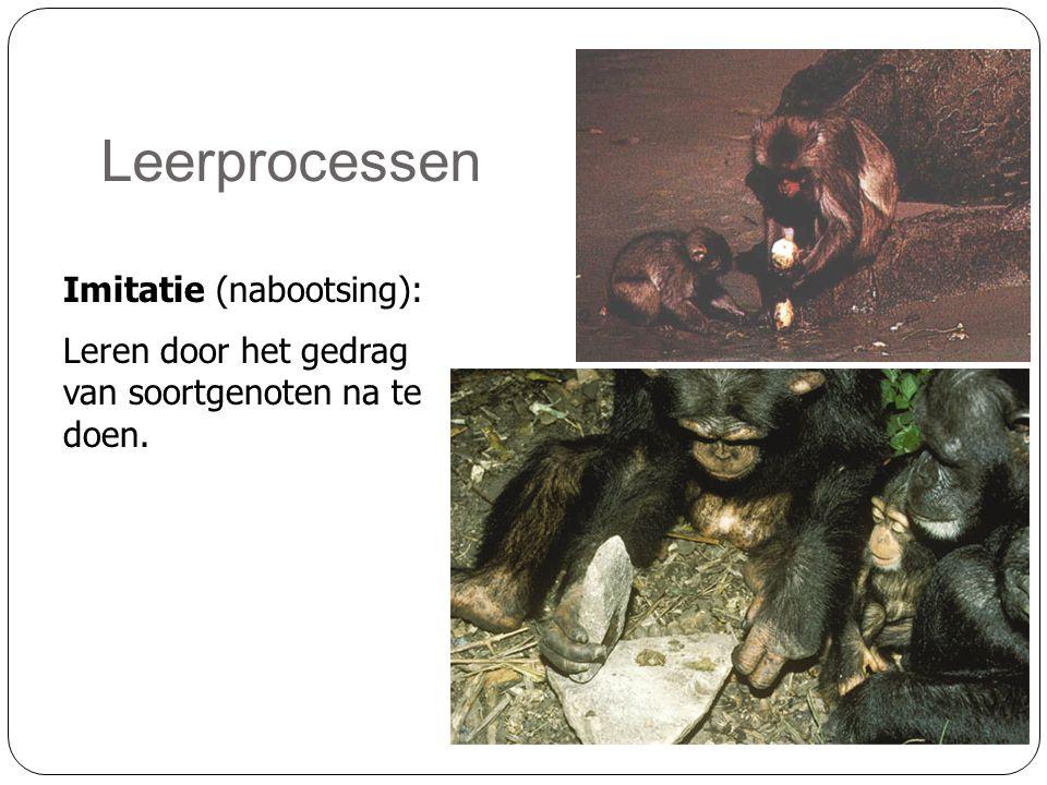 Leerprocessen Imitatie (nabootsing): Leren door het gedrag van soortgenoten na te doen.