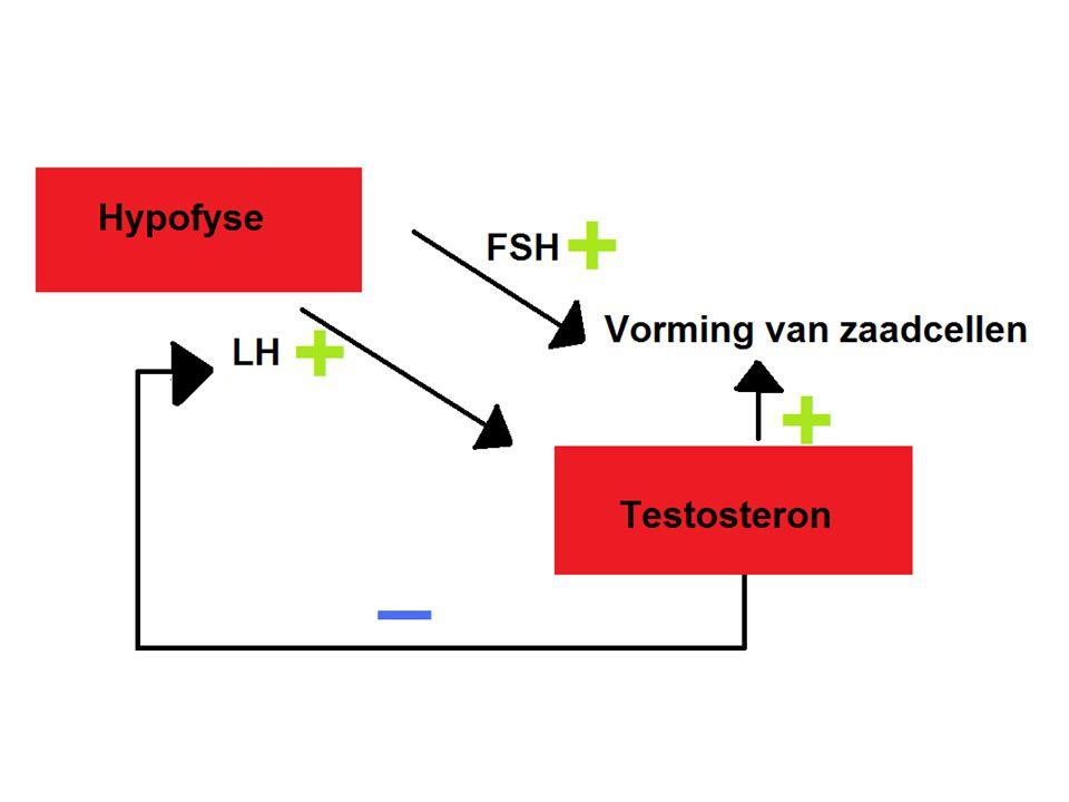Regeling bij vrouwen FSH: (in eerste 12 dagen van de menstruatie cyclus) -Stimuleert de rijping van de follikels (+) -Stimuleert de productie van oestrogenen (wand van rijpende follikels) (+) LH: (in eerste 12 dagen van de menstruatie cyclus) -Stimuleert de productie van oestrogenen (wand van rijpende follikels) (+) -Stimuleert de opname van vocht door de follikel (ovulatie) (+) Oestrogeen: heeft Invloed op secundaire geslachtskenmerken(+) (in eerste 12 dagen van de menstruatie cyclus) -Baarmoederslijmvlies wordt dikker (+) -Stimulatie LH afgifte (+)